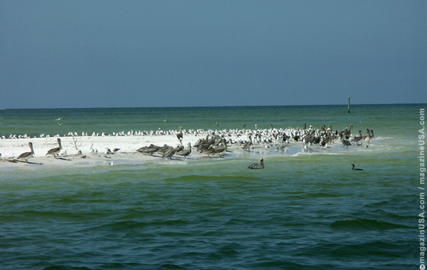 Florida's Pelicans on a sandbank