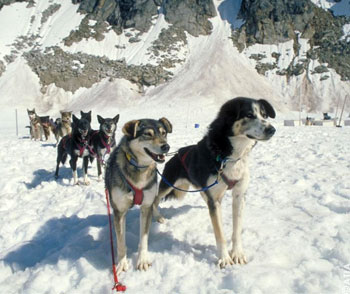 Dog mushing Team