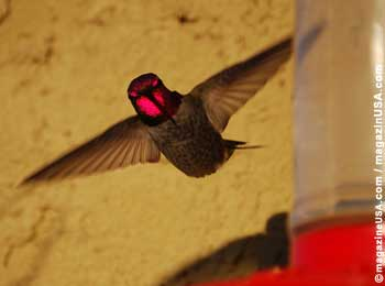 Arizona is a perfect spot for bird-watching, especially hummingbirds