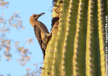 Gila Woodpecker (female) in Arizona at a Saguaro Cactus feeding kids