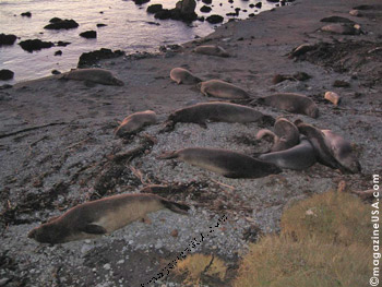 Piedras Blancas Elephant Seal Colony