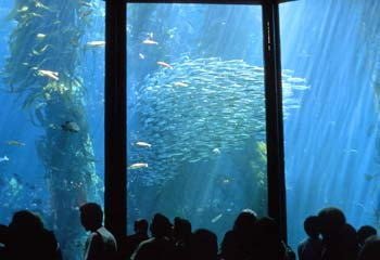Sardines and other fishes circle in the three-story living Kelp Forest exhibit.