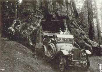 Artificial attractions such as this drive-through tree, known as the Grizzly Giant or the Wawona Tunnel tree at Yosemite National Park, destroyed resources but helped people gain an understanding of the scale of some of nature's wonders. Thousands of visitors drove through this tree until it toppled in the 1960s. (National Archives, Record Group 79)