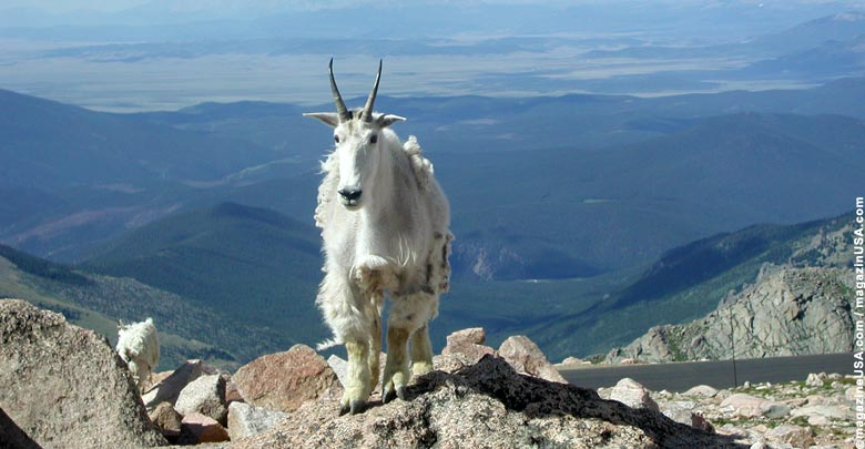Mountain Goat on Mt. Evans, one of the 14ers in Colorado