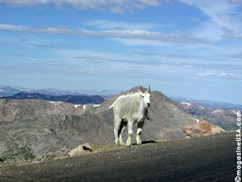 Mountain Goats greet you on Mt. Evans Peak