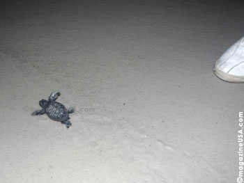 This is a hatchling ca. 20 minutes after hatching on its way to the ocean
