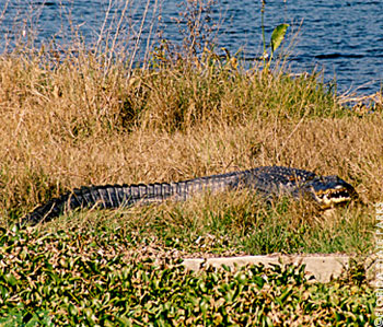 Alligator in DeLeon Springs State Park