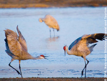Sand cranes are a popular attraction along the central Platte River Valley in spring