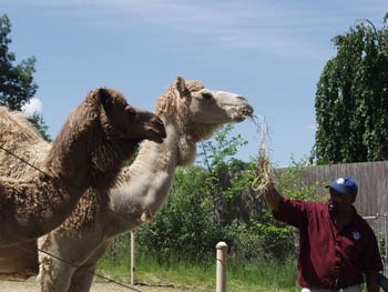 The Dromedary camel at Roger Williams Park Zoo