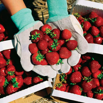 Get your fill of plump, juicy strawberries at the annual Pungo Strawberry Festival held each Memorial Day weekend