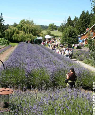 Washington State Lavender fields and farms
